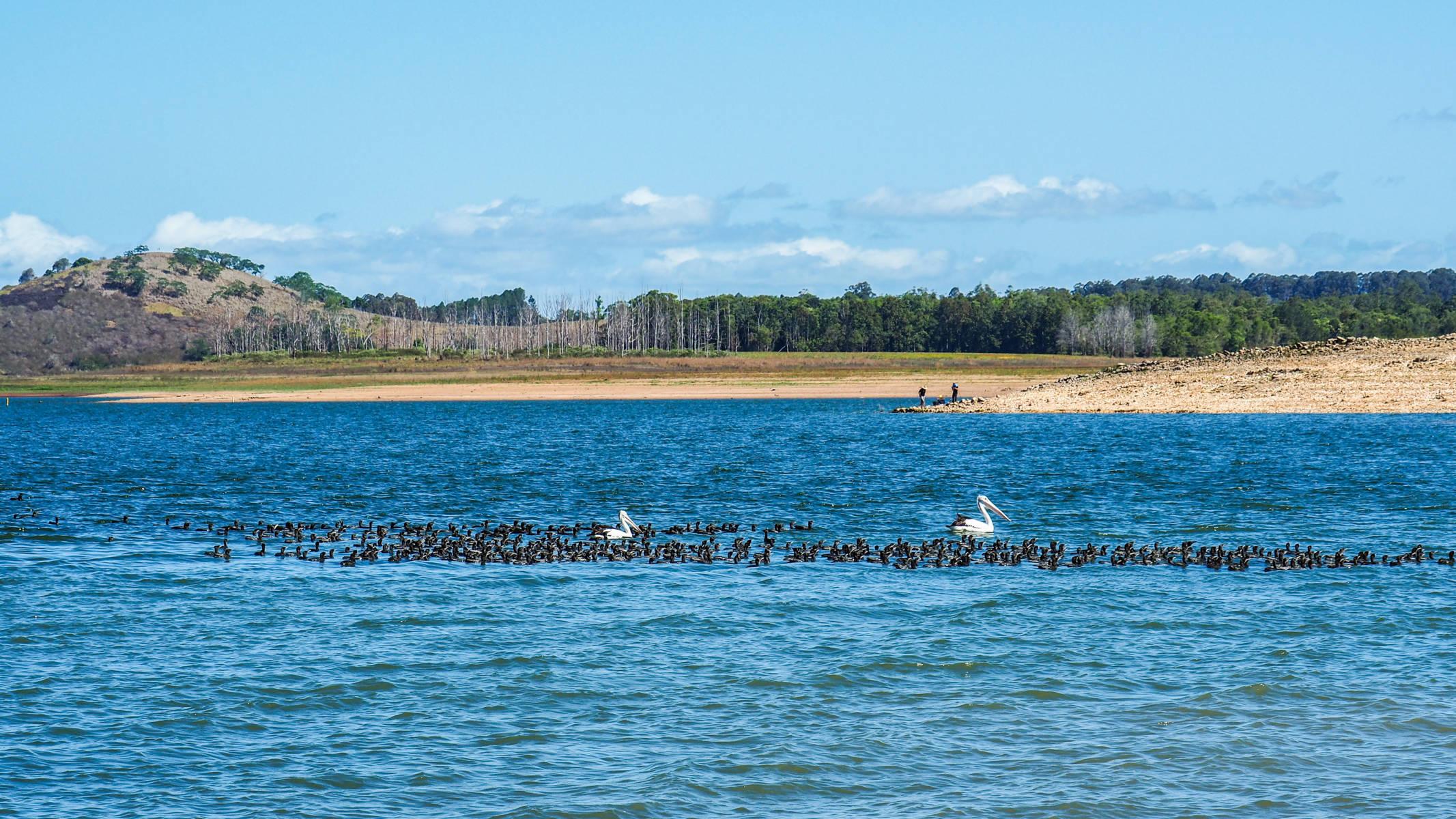 Pelicans Lac Tinaroo