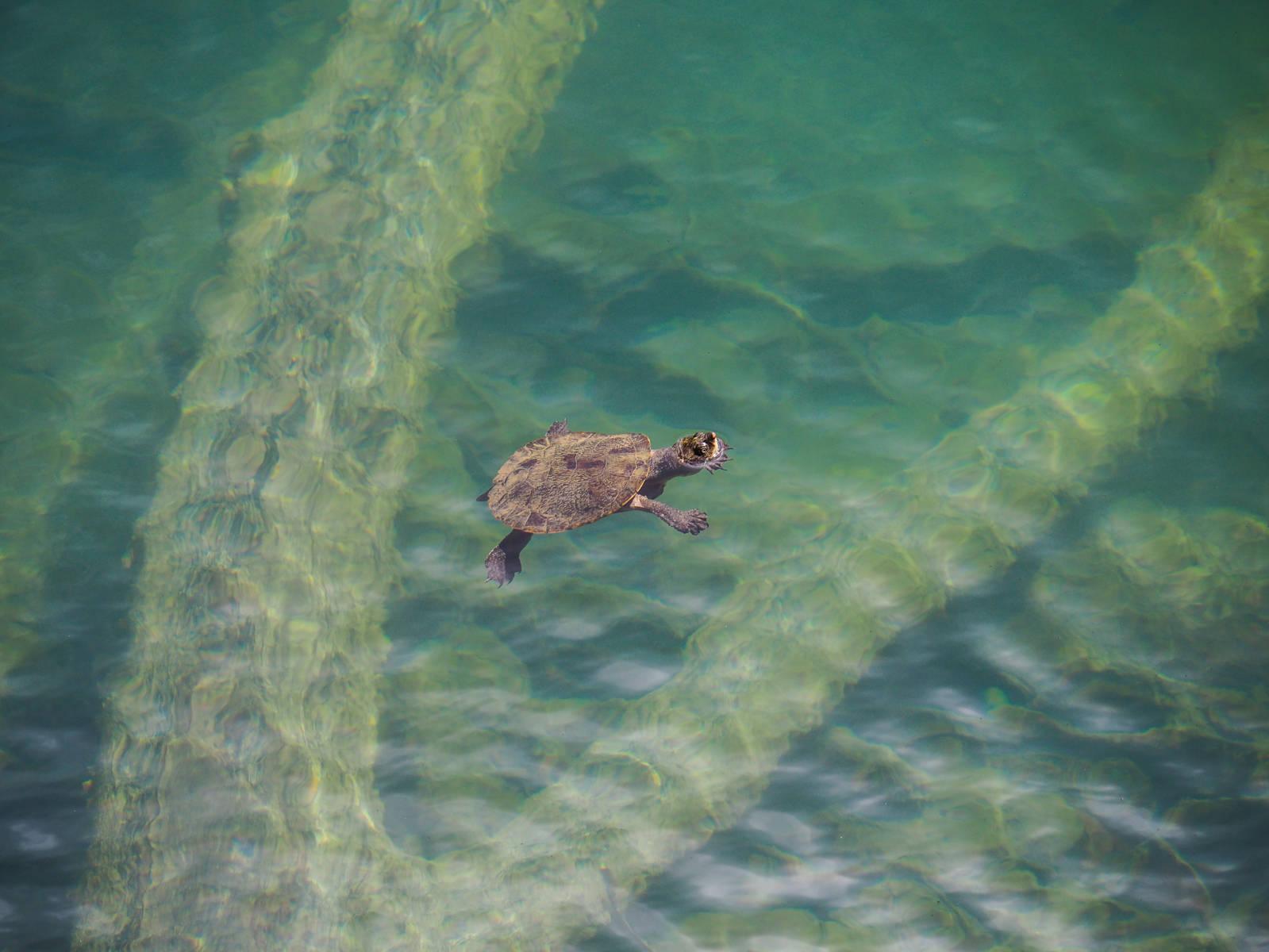 Tortue Lac Eacham