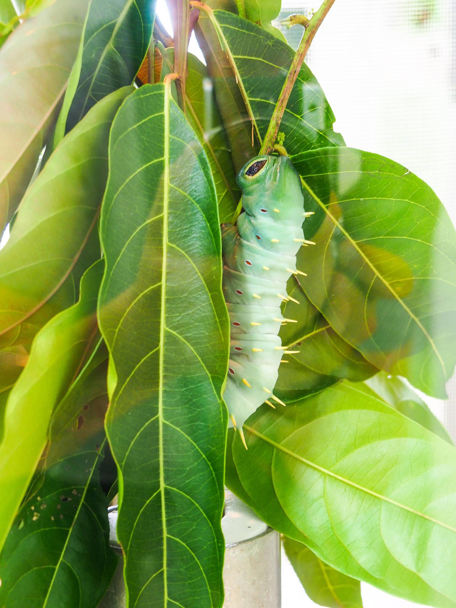 Hercules Moth Larvae
