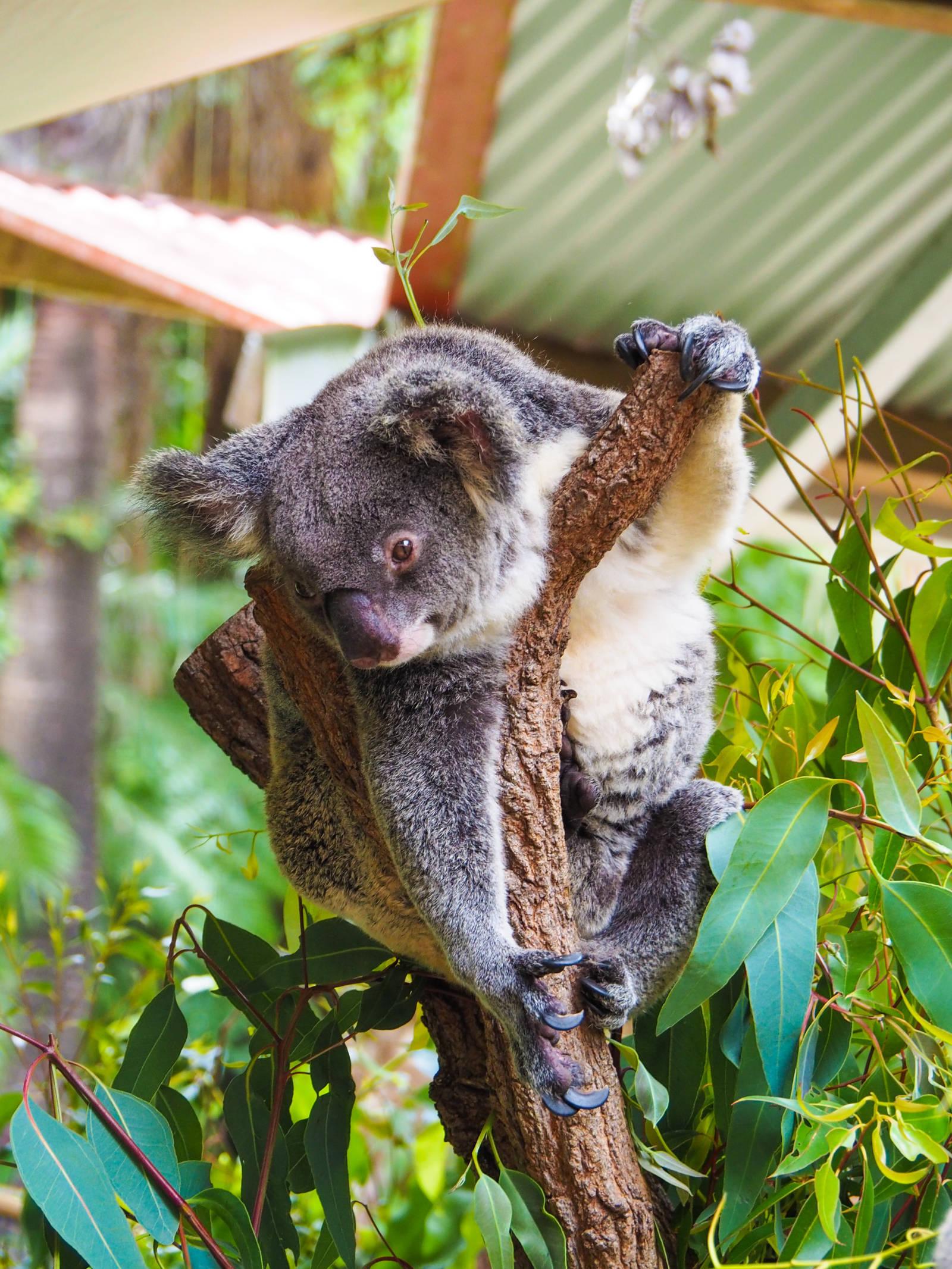 Koala Kuranda