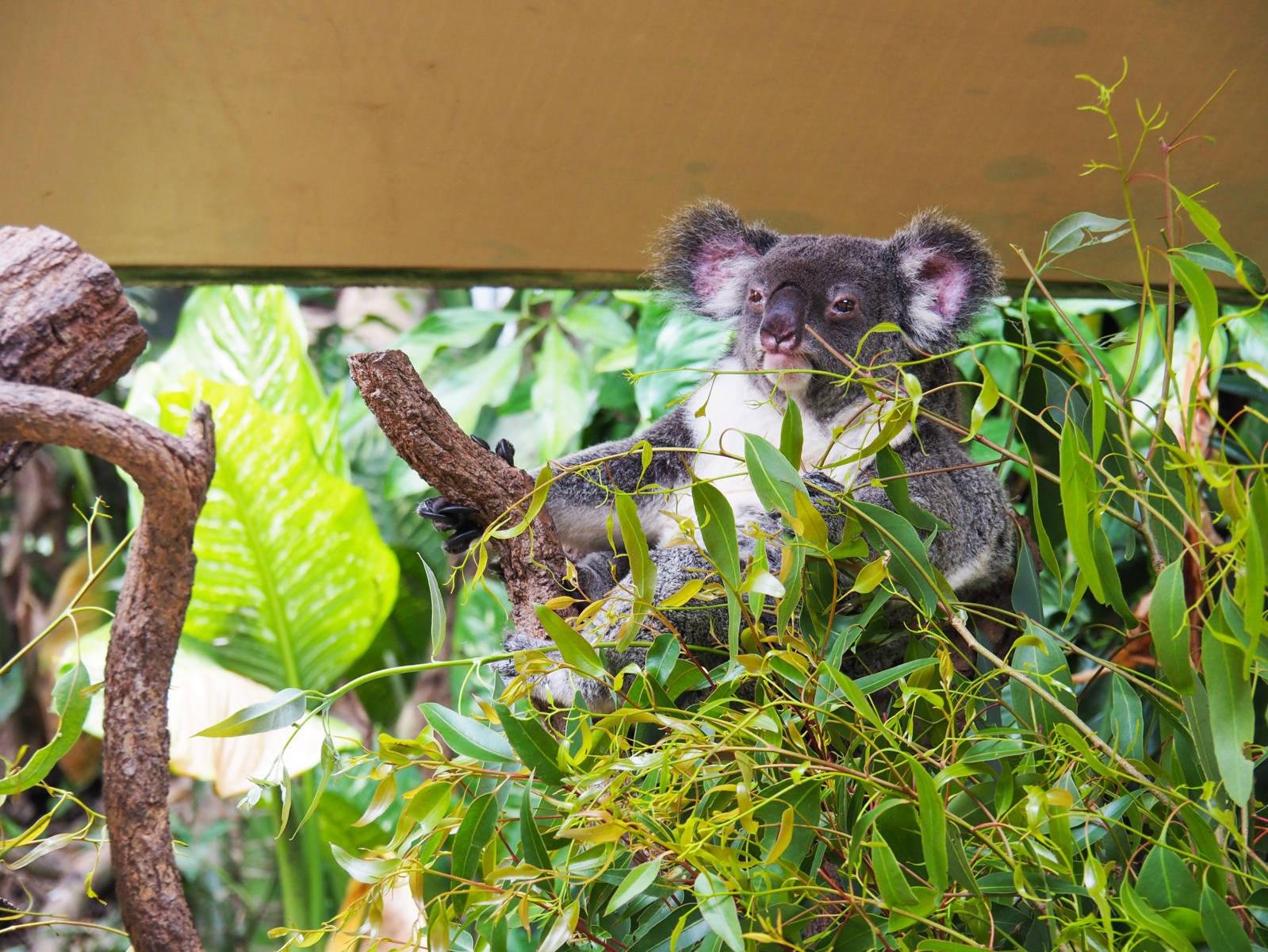 Kuranda Koala